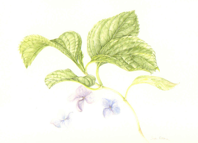 Hydrangea Leaves with Purple Blooms