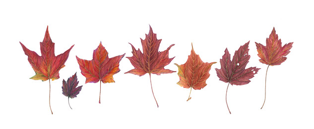 Canadian Leaves
