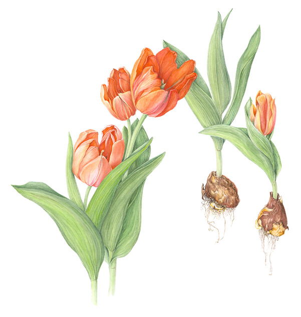 Tulips with Bulbs