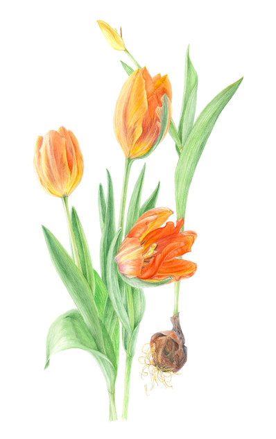 Tulips with Bulb