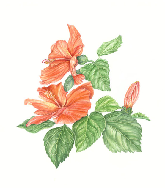 Hibiscus with Buds