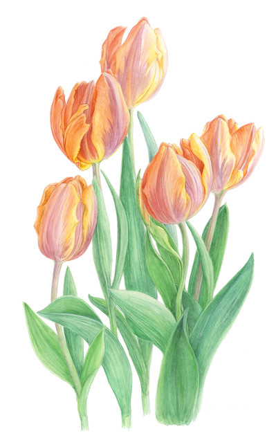 Light Orange Tulips