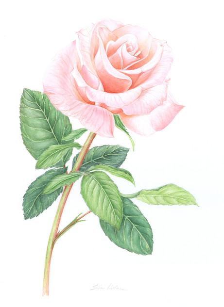 Pale Single Rose