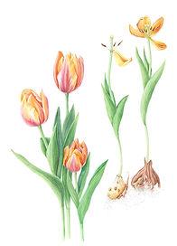 Multi colored tulips with bulbs.jpg