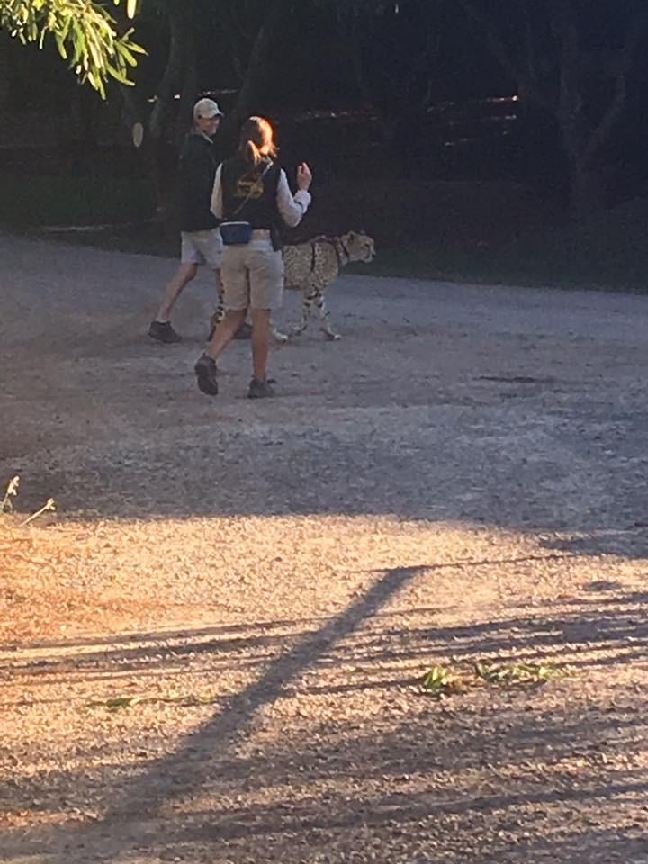 Cheetah- CuddleCare pss