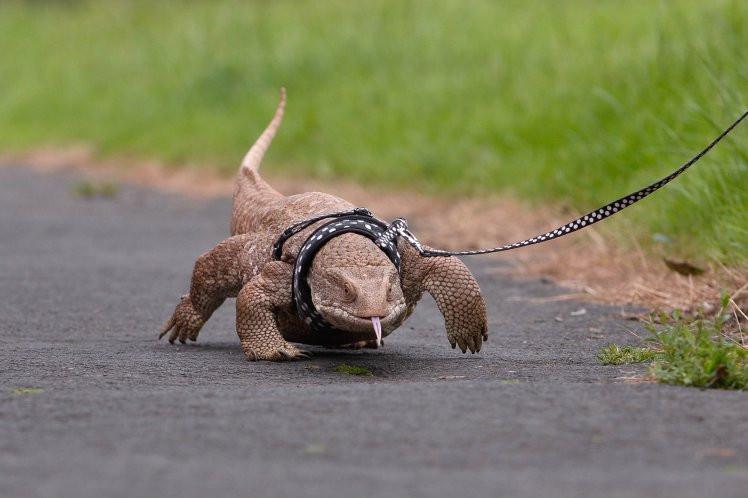lizard on leash