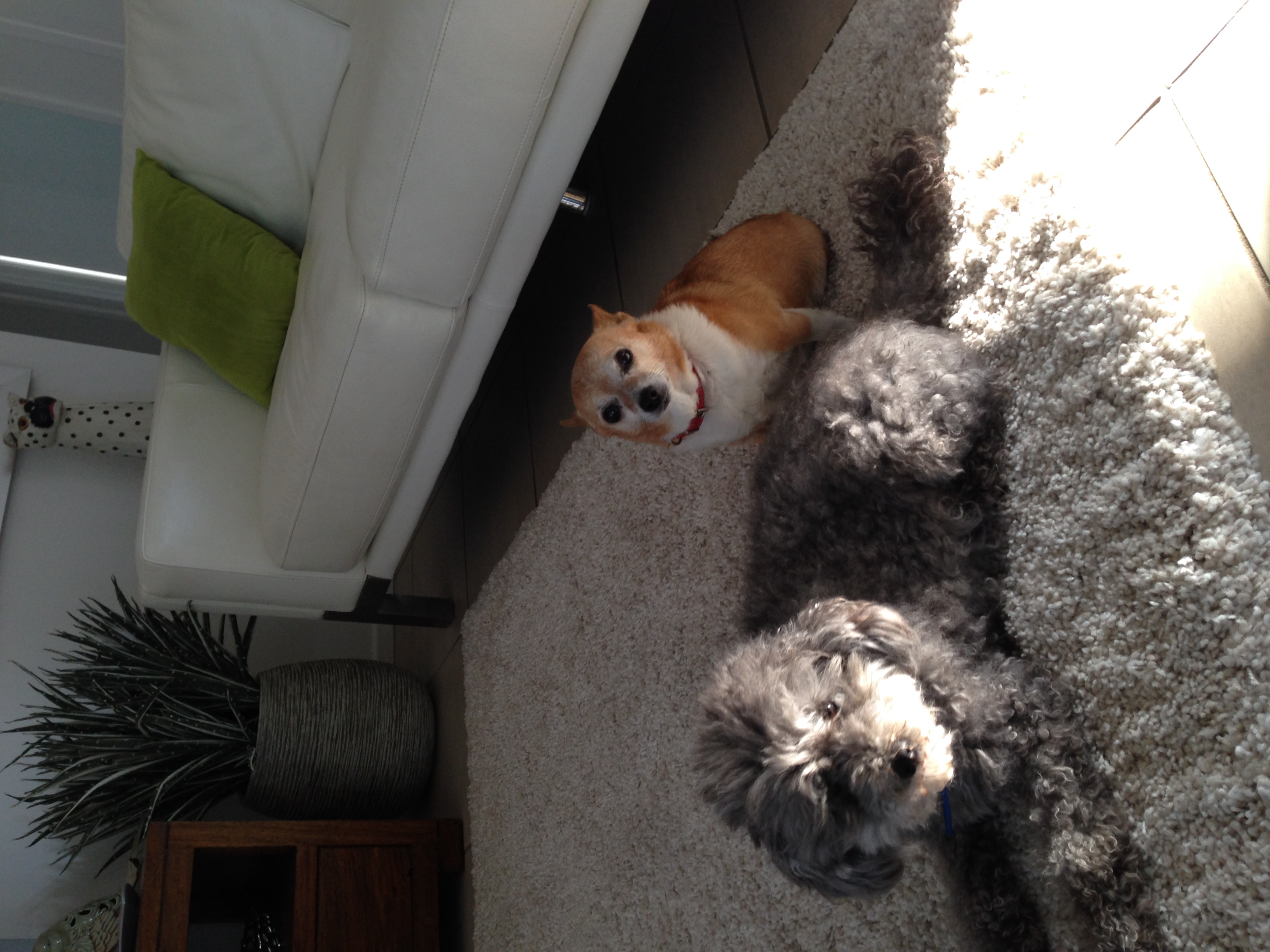 CuddleCare Hosts - Angus and Rocky