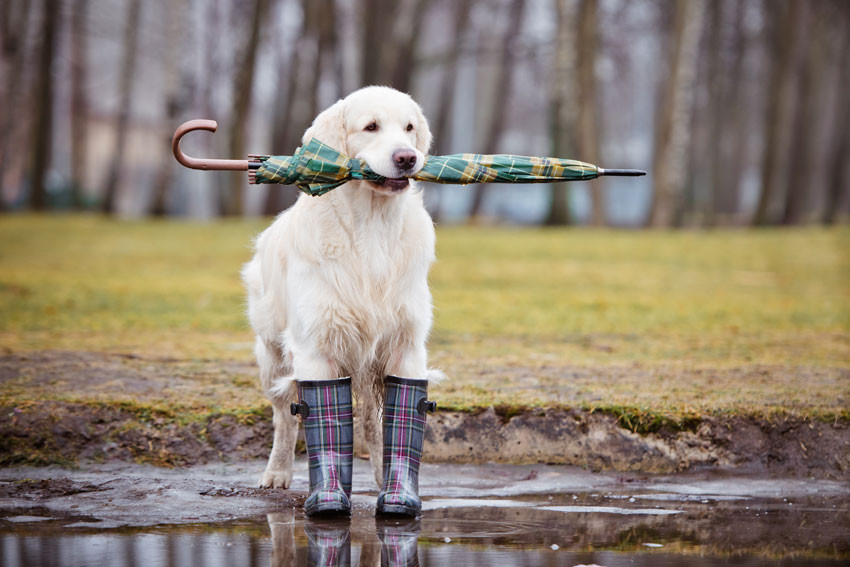dog with umbrella and gum boots