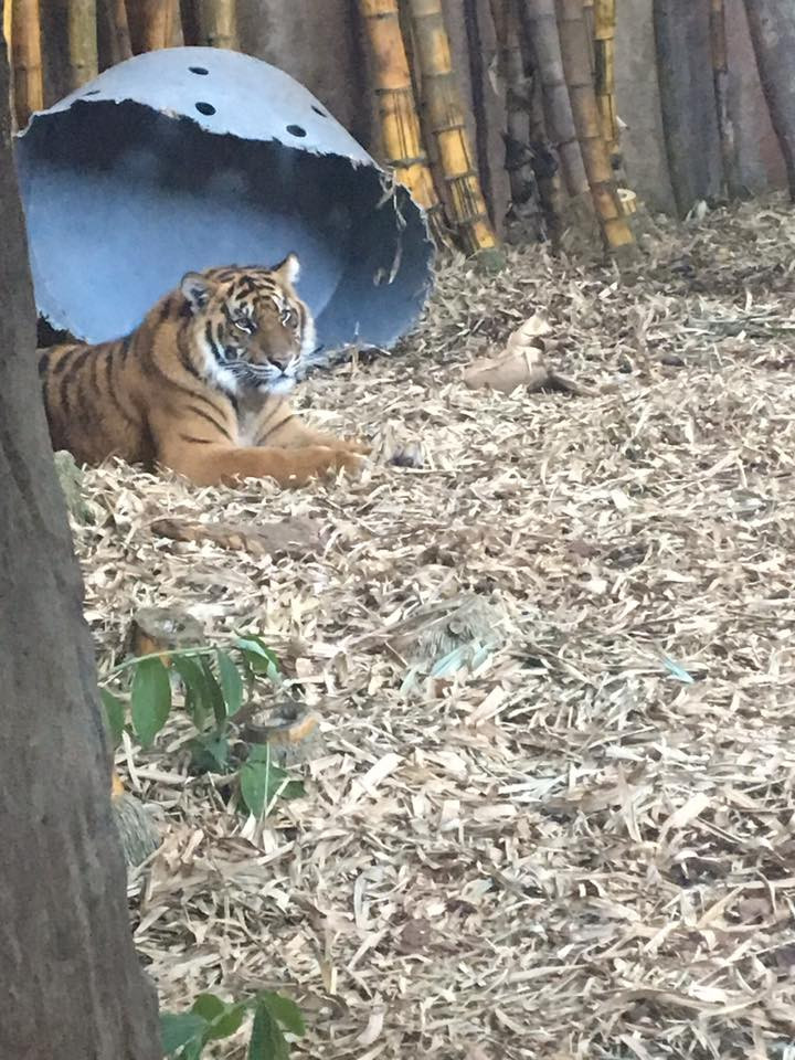 Tiger- CuddleCare pss