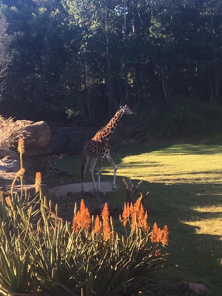 Giraffe- Cuddlecare pss