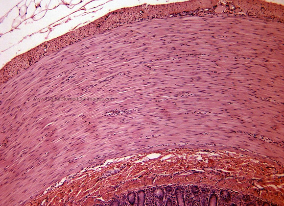 000128 Smooth Muscle Gut 100x