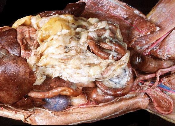 CD00074 Cat Dissection - Abdominal Region