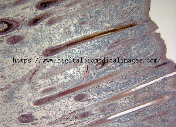 Resp. 030 Nasal Epithelium 100X