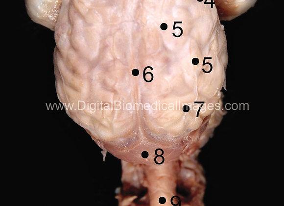 Fetal Pig Special Senses (FSP_001)