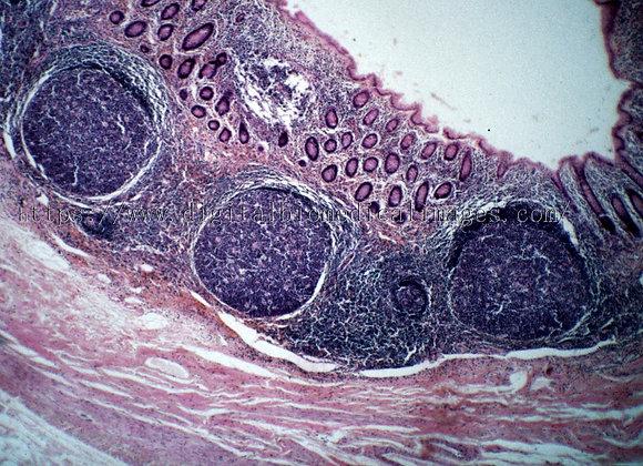 Lym. 002 Appendix