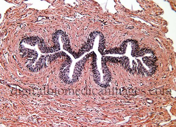 REP_010: Urethra 200X