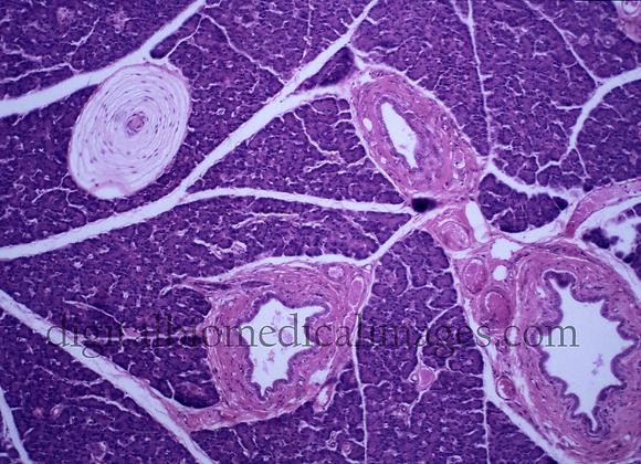 INT_004: Pacinian Corpuscle in Pancreas