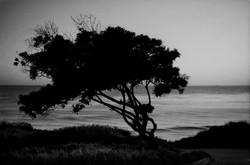 BW_TREE_MALIBU