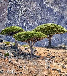 Dragon's_Blood_Trees,_Socotra_Island_(12