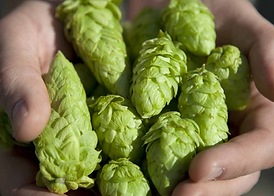 how-to-grow-hops.png