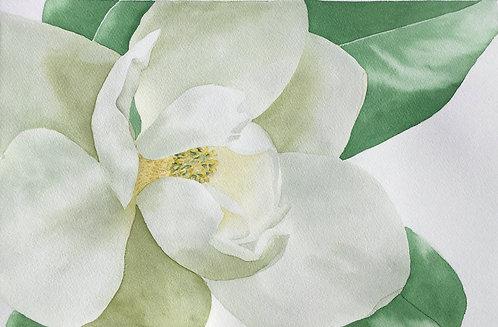 Magnolia (P)