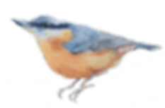 NuthatchSoloCutoutPNG.png