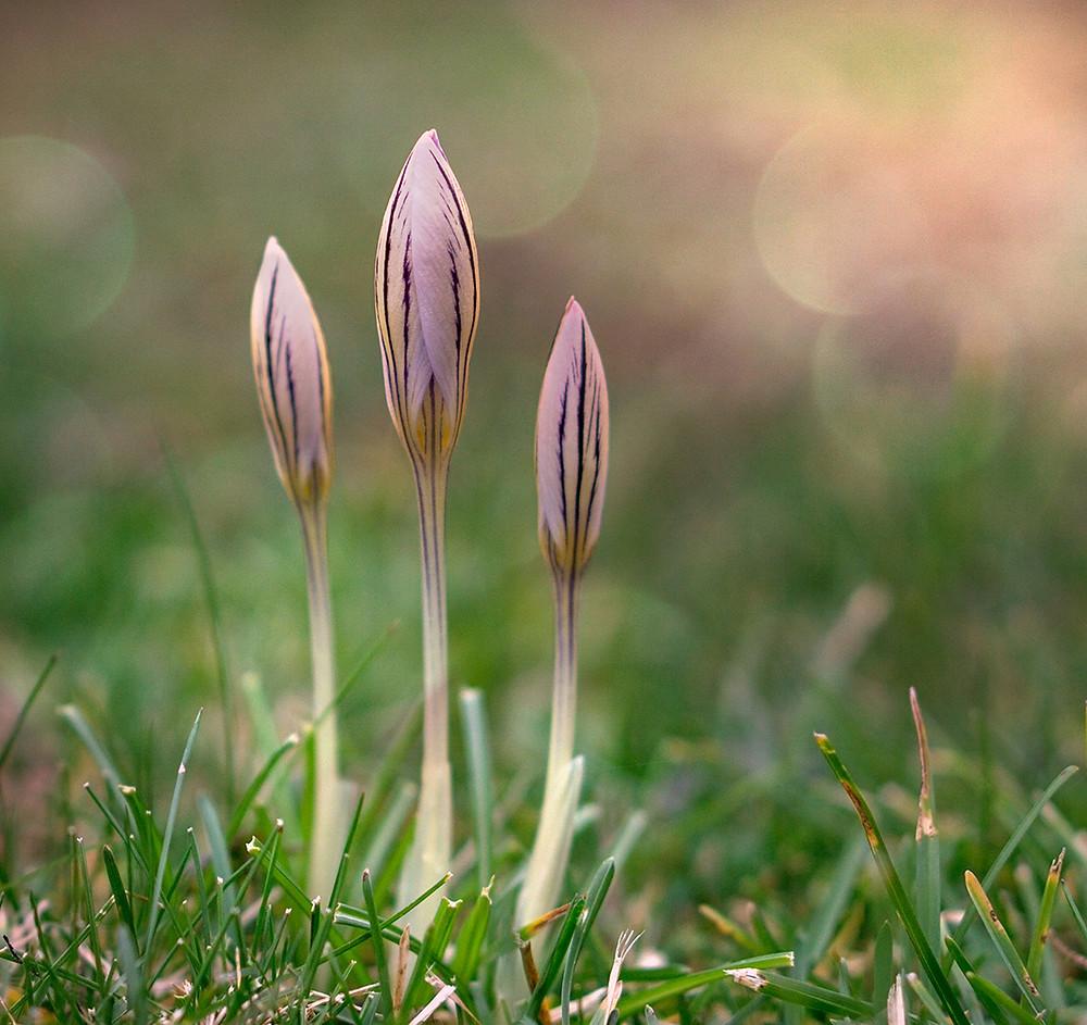 aufblühende Krokusse im Frühling
