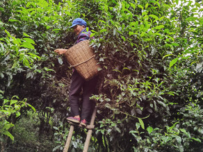 365 Teas Challenge > Day 326 - Yunnan White Tea 2020
