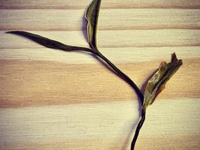 365 Teas Challenge > Day 322 - Pu-erh Dragon Beard Tea