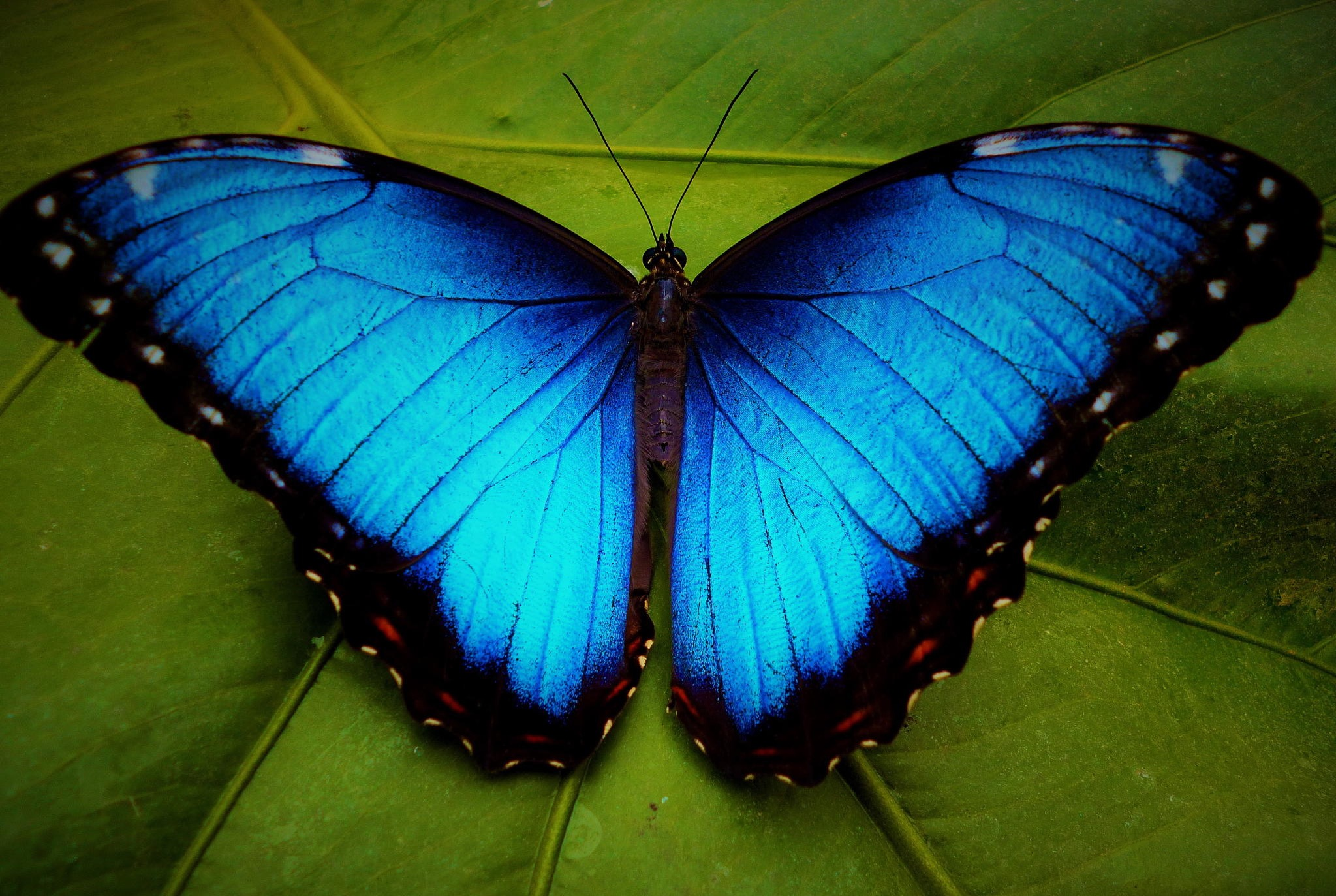 blue-morpho-butterfly_edited
