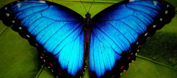 blue-morpho-butterfly_edited_edited_edit