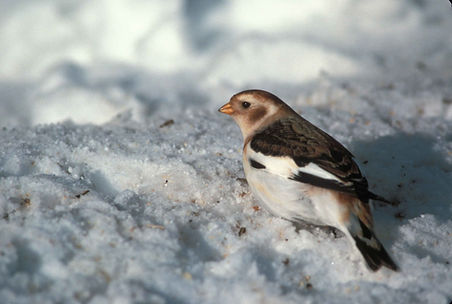 snow-bunting-in-non-breeding-plumage-ple