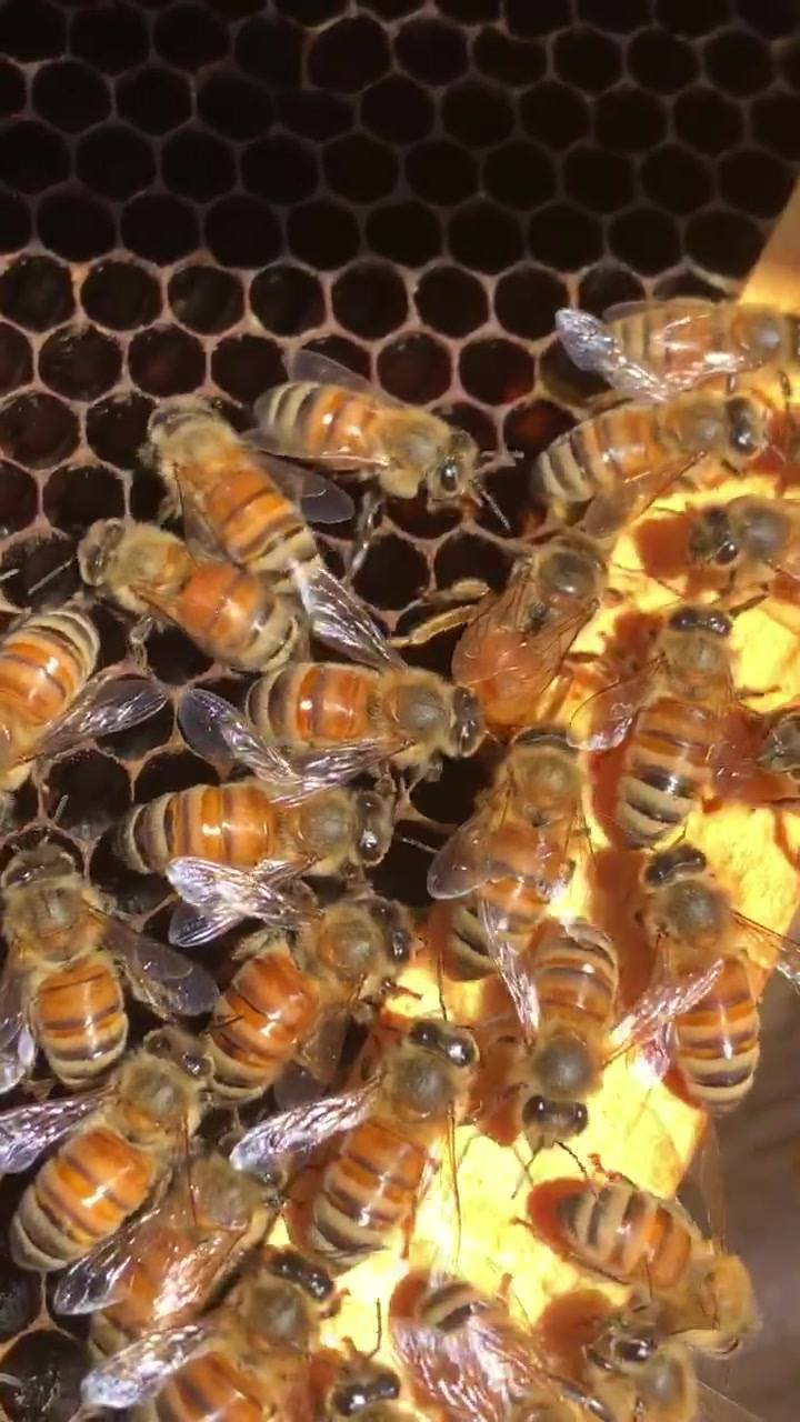 Went into one of the hives today and spotted the queen laying eggs!