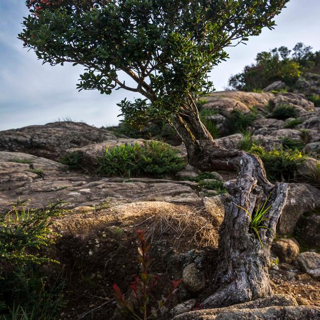 Bonsai na Pedra do Baú
