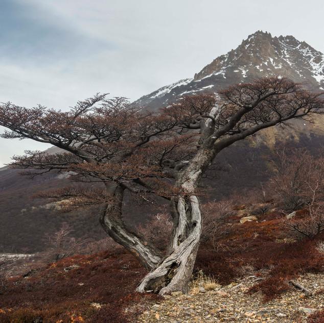 Árvore na Subida ao Fitz Roy