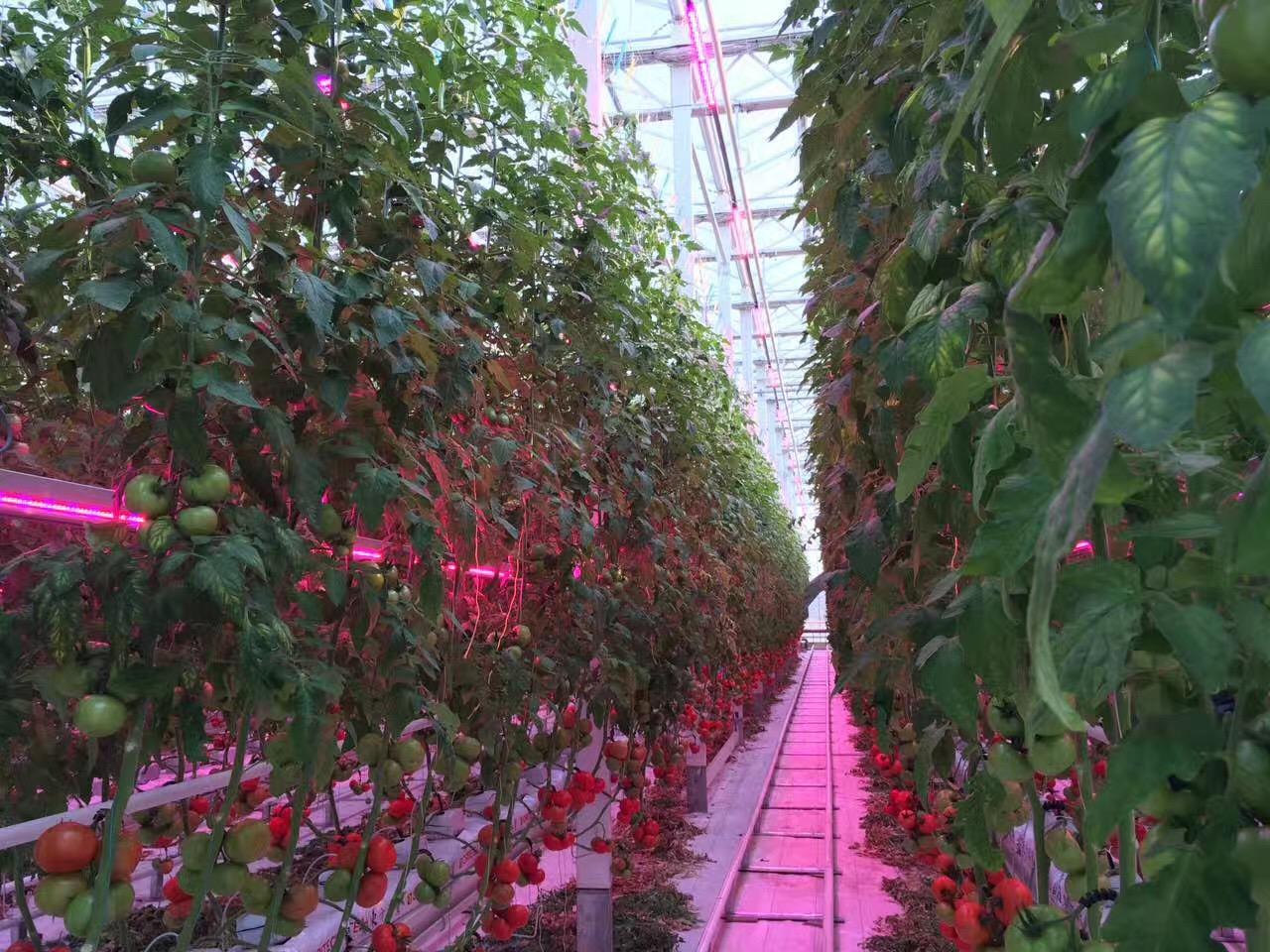 Venlo Greenhouse 5