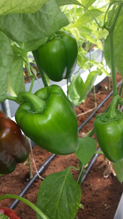 EnviroDome® vegetable in Sri Lanka 3