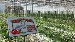 Venlo Greenhouse 4