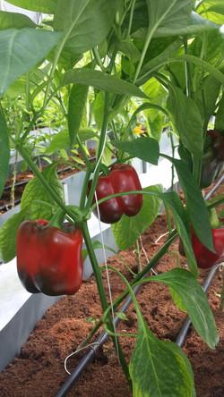 EnviroDome® vegetable in Sri Lanka 2