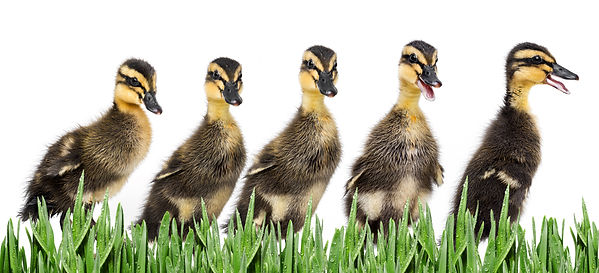 ducklings ( indian runner duck) isolated