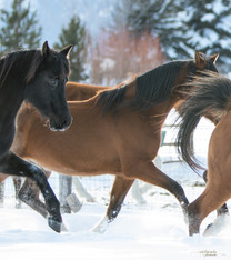 Majik Arabians