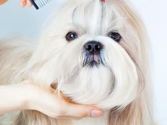 Shih tzu dog grooming with comb..jpg