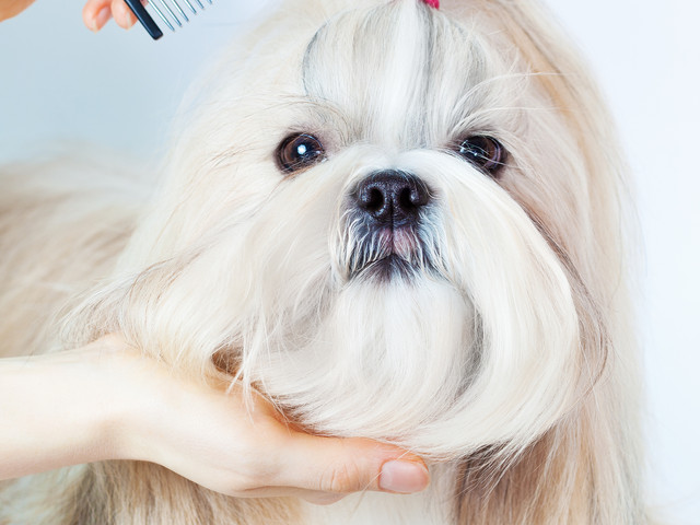 Shih tzu dog grooming with comb..jpg