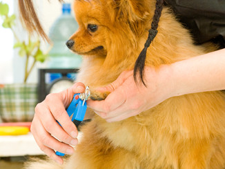 hands using pet clippers to trim dogs to