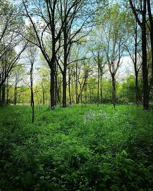 A picture taken at Short Hills Provincial Park. A lush green forest floor is in the foreground with small purple and white wildflowers scattered throughout. In the background, there are trees reaching up toward a pale blue sky.