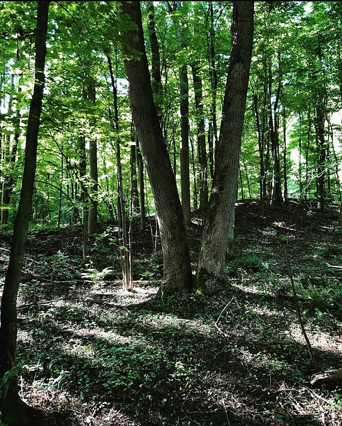 A picture taken at St. John's Conservation Area. In the background, there is a lush green forest scattered with trees, and flecks of sunlight peek through their leaves. In the foreground, there are two trees growing closely together at the root but form a V as they reach up toward the sky.