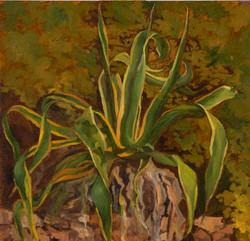 L'agave rayée