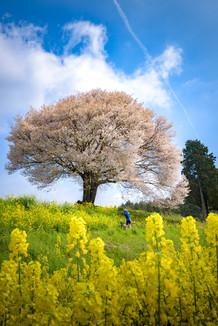 佐賀 馬場の山桜