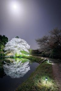 佐賀 ジラカンス桜