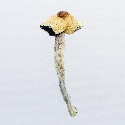 Malabar Mushrooms